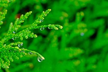 Water Drop On Leaves Of Thuja ...