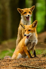 Red Fox, Vulpes Vulpes, Adult ...