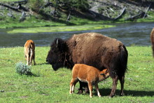 Bison Nursing A Calf