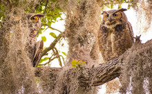 Adult Great Horned Owls Keep A...