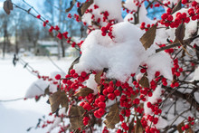 Snow-covered Winterberry Holly Bush