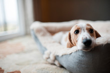 Wiener Puppy Laying In Dog Bed...