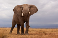 A Lone Elephant Standing In Th...