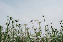 Wild Daisies In A Field In The...