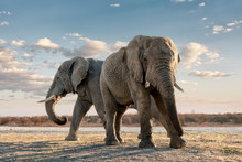 Two African Elephants Standing...