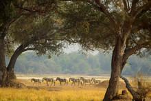 A Herd Of Zebras Roaming The P...