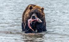 Brown Bear - Kamchatka - Russia