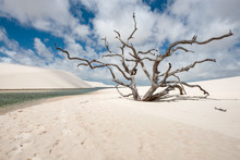 Dry Tree In Lencois Maranhenses National Park