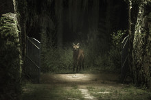 Maned Wolf In The Forest Looki...