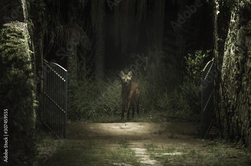 Maned wolf in the forest looking inside the cottage gates