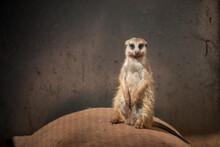 A Meerkat Sitting In It's Encl...