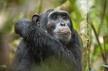 Close Up Portrait Of Chimpanze...