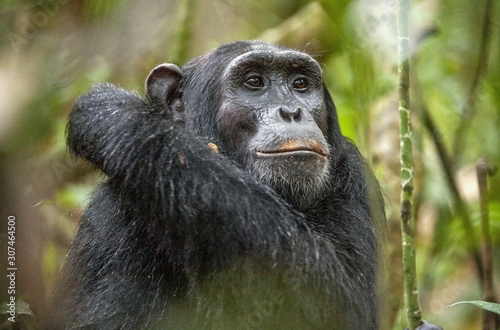 Photographie Close up portrait of chimpanzee ( Pan troglodytes ) resting in the jungle