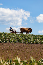 The Amish Farmer With Horses I...
