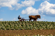 Amish Farmer With Horses In Tobacco Field