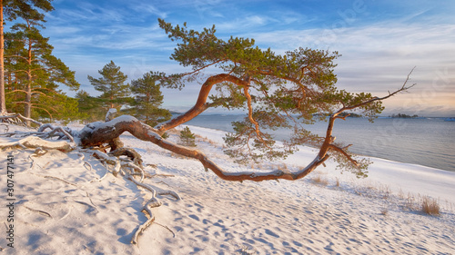 Slika na platnu curved pine trunk on the shore of lake Ladoga on a Winter Sunny day