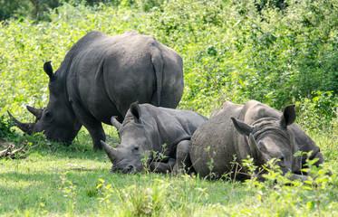 White Rhinoceroses - Ziwa Reserve - Uganda