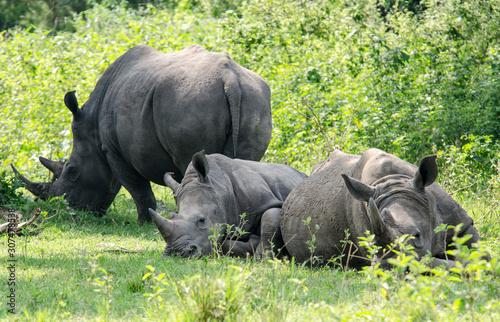Obraz na płótnie White Rhinoceroses - Ziwa Reserve - Uganda
