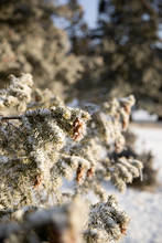 Pinecones Covered In Thick Ice Crystals