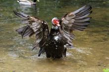 Muscovy Duck Wading Bird Flapp...