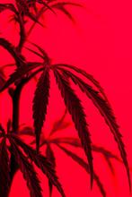 Marijuana Plant Shot Inside A Studio With Colorful Lights.