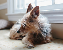 Yorkshire Terrier Dog Sits By ...