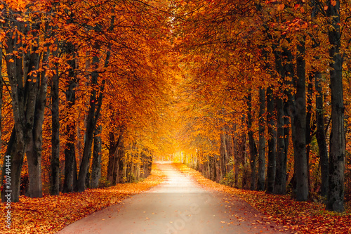 autumn alley along with tall trees with lush vibrant orange yellow foliage and bright sunlight in the distance - 307494144