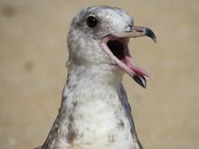 Seagull Right Profile