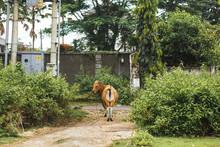 Portrait Of A Tropical Light Asian Cow Grazes On Green Grass.