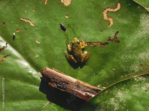Photo petite grenouille verte sur feuille de nénuphar