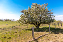 Germany, Schleswig-Holstein, Fehmarn, Fence In Front Of Blossoming Tree With Sheep Grazing In Background