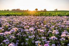 Germany, Schleswig-Holstein, Rettin, Purple Flowers Growing In Field At Sunset