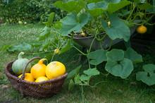 Pumpkins In Wicker Basket By Plants At Farm