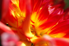 Extreme Close-up Of Red And Yellow Dahlia