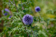 Close-up Of Thistle Growing Outdoors
