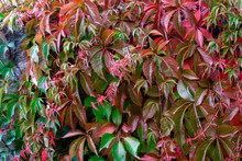 Germany, Saxony, Colorful Leaves Of Wild Vine