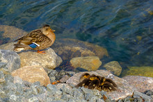 High Angle View Of Mallard Duck With Ducklings On Rocks By Lake