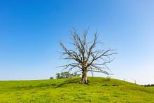 Dead Tree On Grassy Land Again...