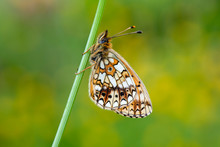 Close-up Of Pearl-bordered Fri...