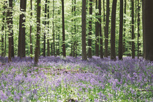 Trees And Bluebell Flowers Gro...