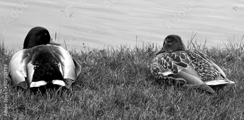 Photo Couple of mallard or wild duck (Anas platyrhynchos) is a dabbling duck which bre