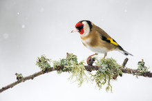 Close-up Of Gold Finch On Perching On Twig During Winter