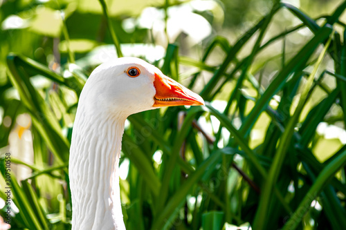 Portrait of goose close-up on head. Wallpaper Mural