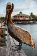 Close-up Of Pelican Perching O...