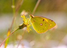 Close-up Of Yellow Butterfly Pollinating On Flower, Mittenwald, Upper Bavaria, Bavaria, Germany