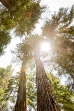 Looking Up At Tall Trees And Sunshine
