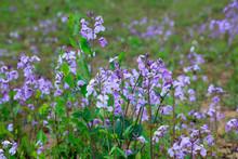 Orychophragmus Violaceus Flowers In The Wild