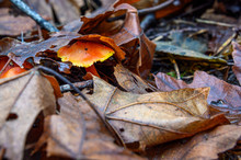 Two Orange Mushrooms Growing In Fall Leaf Litter On The Forest Floor, Nature Background