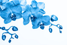 Orchid Branche In Blue Color O...