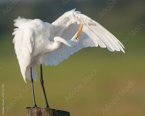 Photo A Great Egret twists it's neck awkwardly to groom it's wing feathers